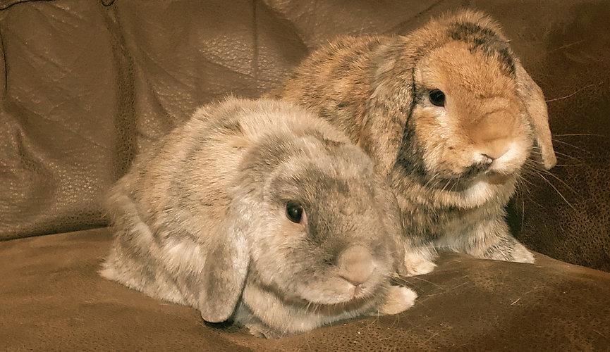 Two fuzzy lop-eared bunnies looking cute