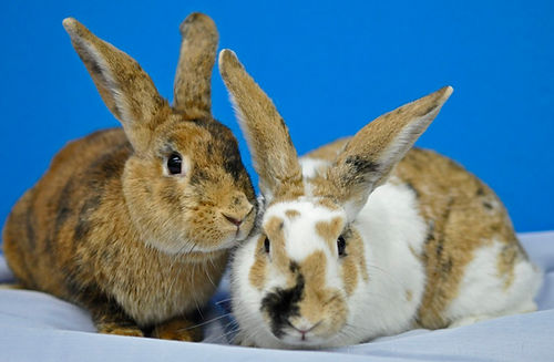 Two snuggling brown rabbits, one with brown spots and a black nose