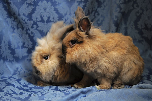 Two curious brown lionheads