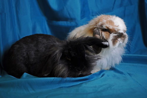 Two fuzzy lionhead rabbits, one black and one white with brown spots