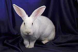 A cute white domestic house rabbit