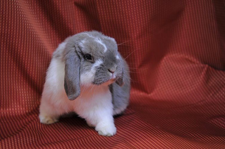 A white and gray lop posing dramatically