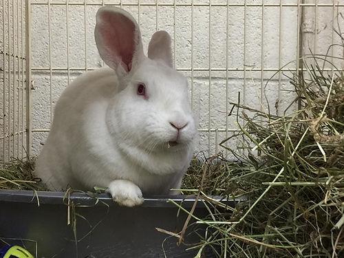 A big white rabbit eating hay