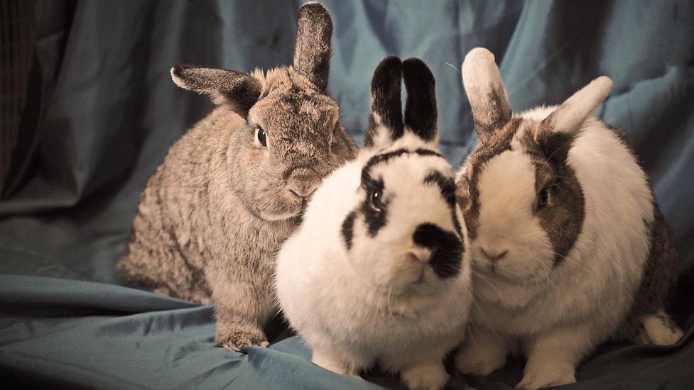 Three cute Colorado rabbits