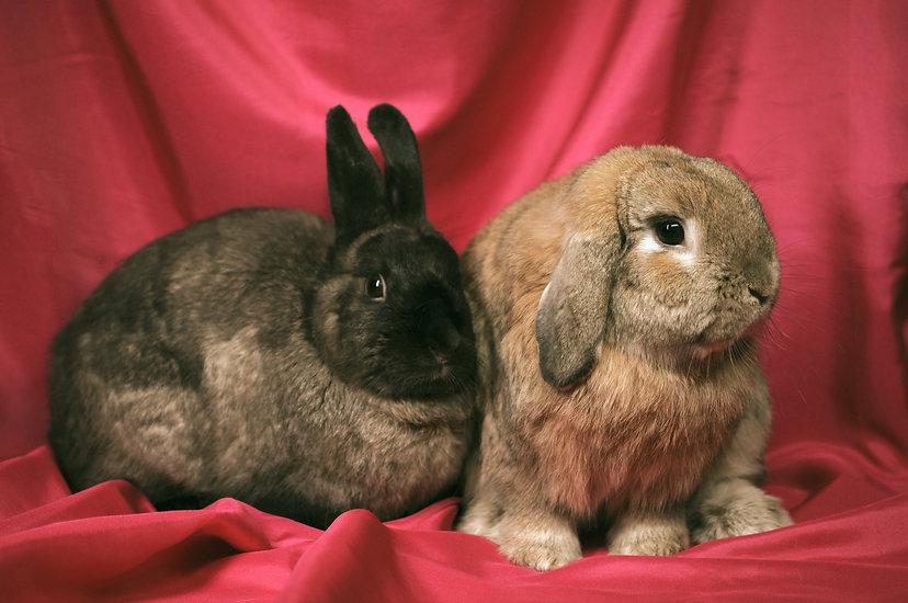 Two brown bunnies looking very proper