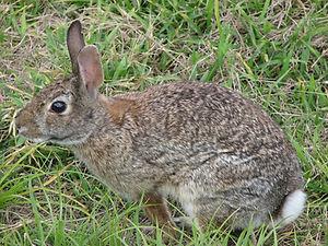 A wild cottontail rabbit eating grass