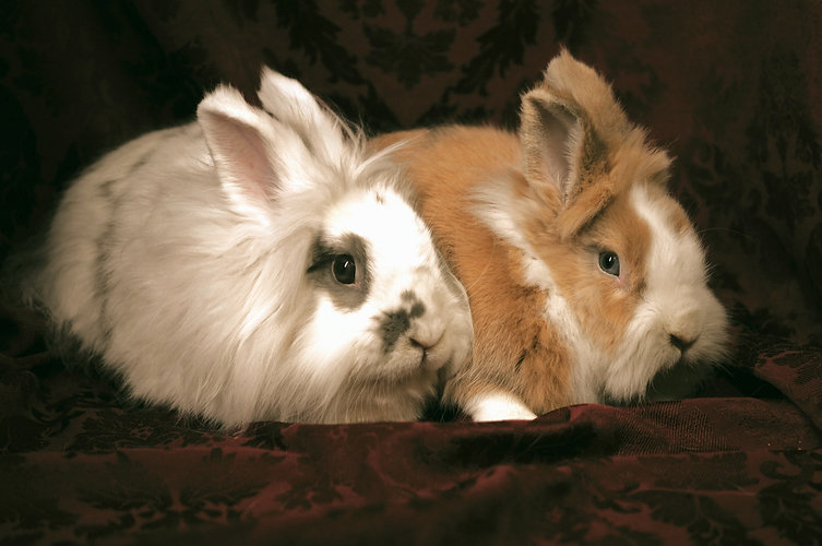Two really fuzzy lop-eared bunnies!
