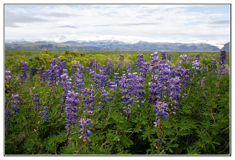 Alaska-Lupinien