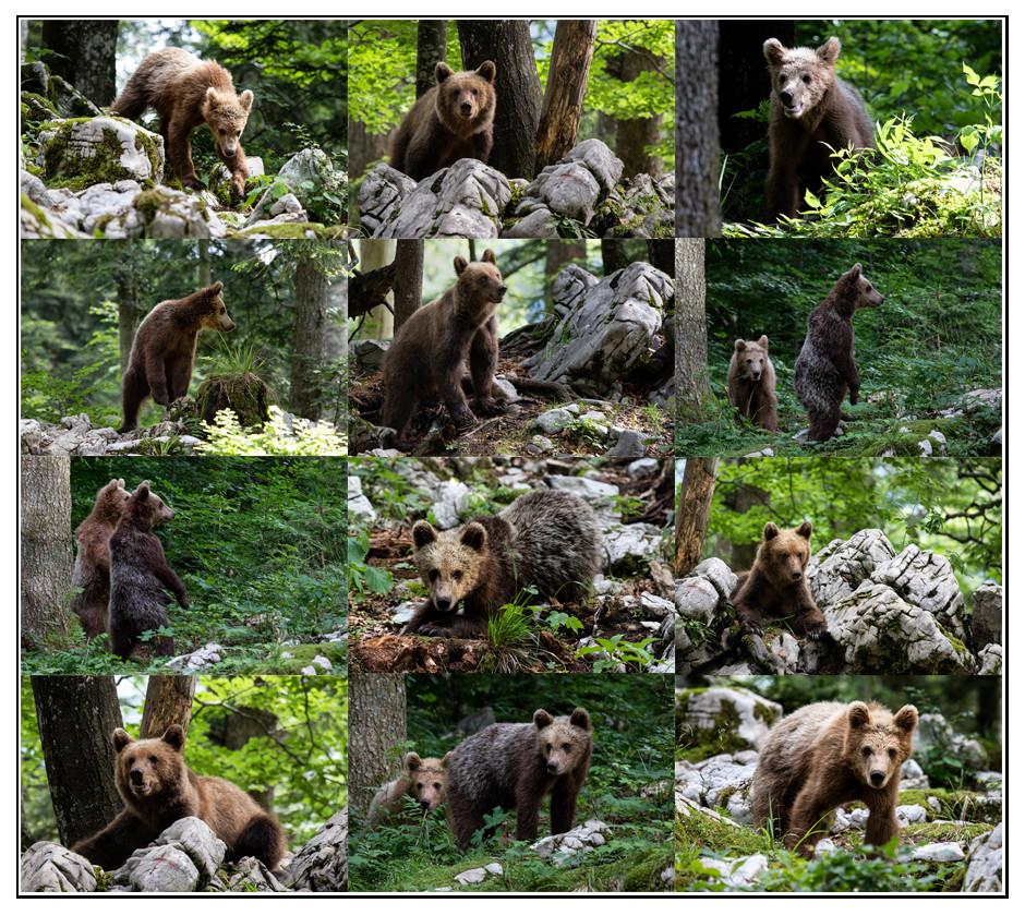 Braunbären in Slovenien