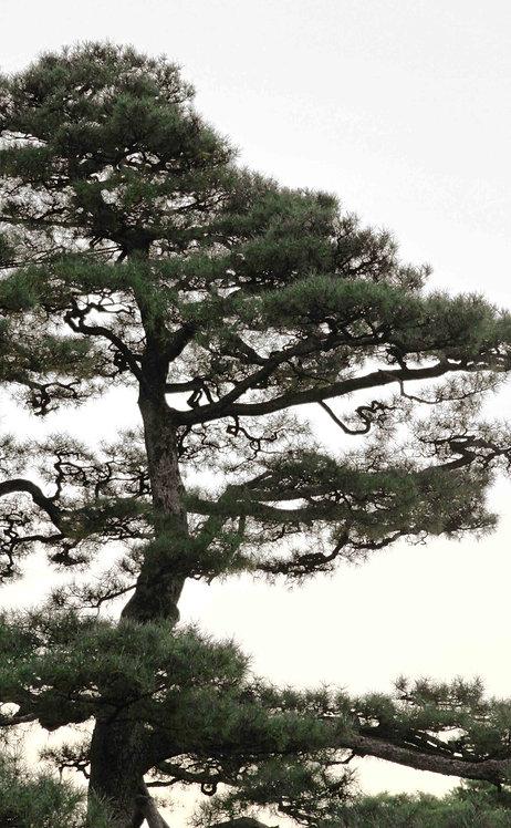 """Miquel MERCE - 3358 sèrie """"光と木 """" (Hikari to ki)"""
