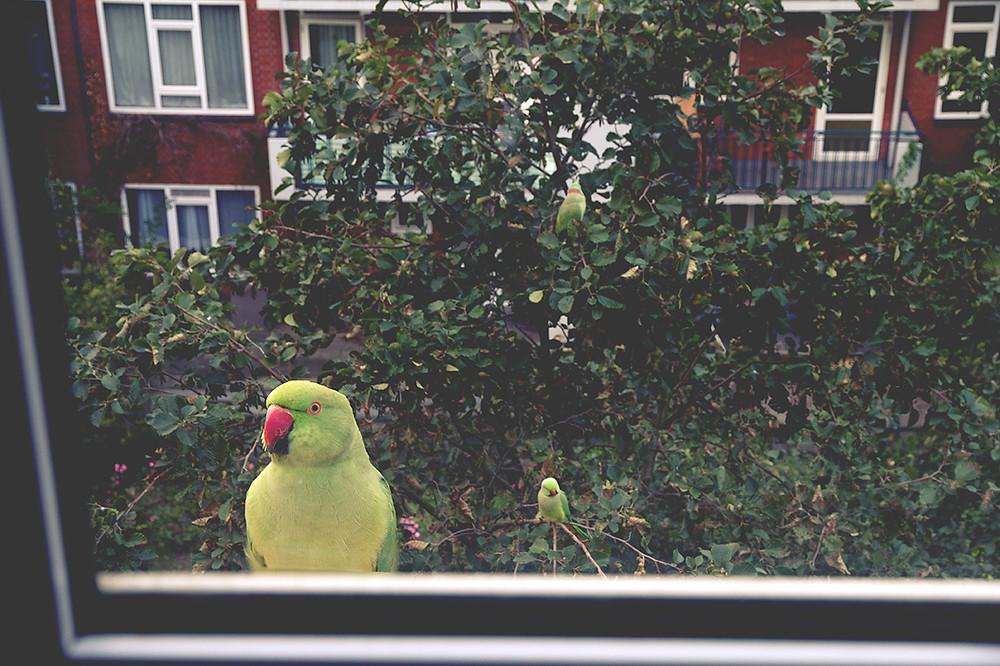 Green parrots.jpg