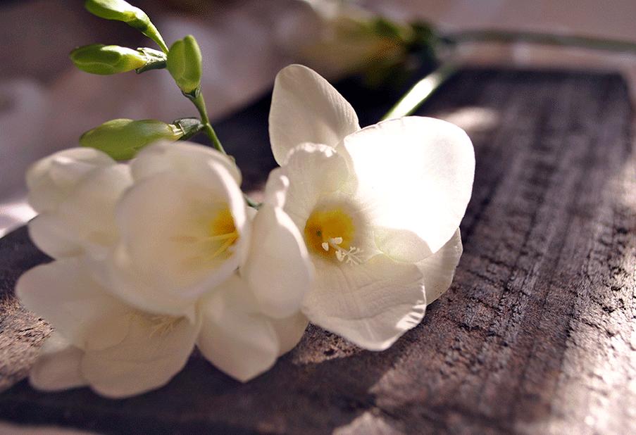 Spring Freesia