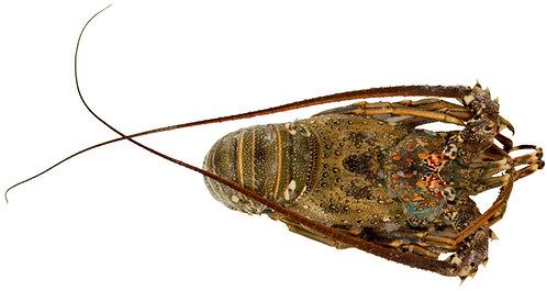 Wild Omani Lobster Whole (400/600g)