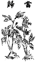 Angelica_sinensis_Bild.png