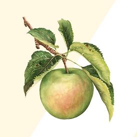 Copy of Copy of Green Apple Watercolor R