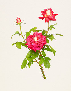 《MB_199 Rose, Cherry Parfait》