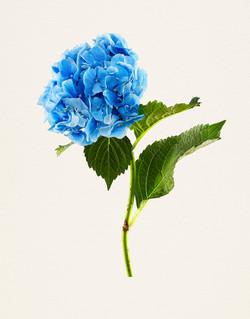 《MB_037 Hydrangea, Nikko Blue》