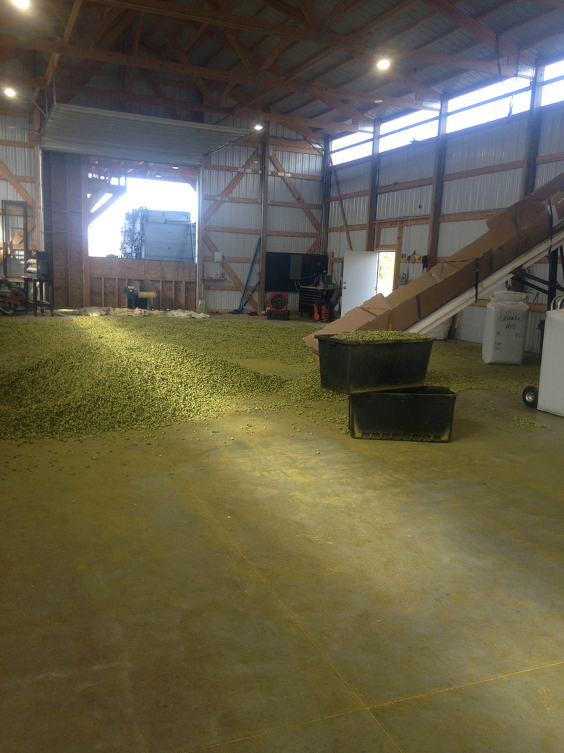 Hops ready to be baled