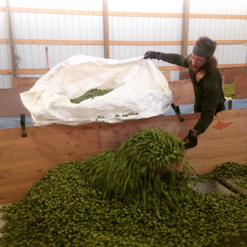 Dried hops getting bagged