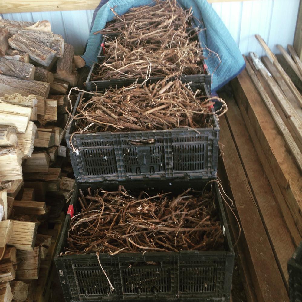 So many rhizomes!
