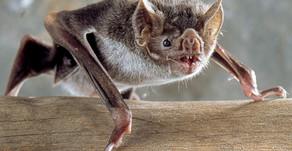 I, Vampire Bat (Prompt)