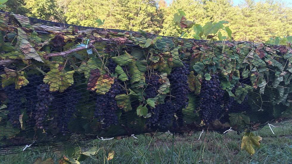 Spanish Wine Grapes, one gallon