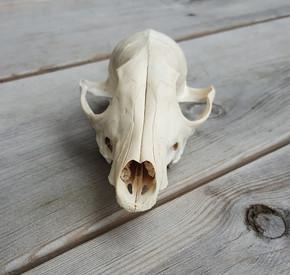 Deer skull - prey