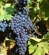 merlot-grapes.jpg