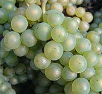 Chardonnay_grapes_edited.jpg