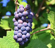 pinot-noir-grapes_edited.jpg