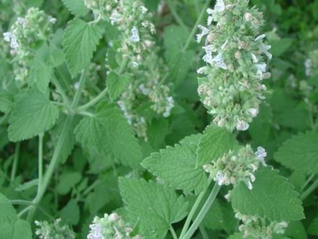 What Is Catnip and Why Are Cats Crazy For It?