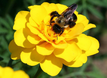 Losing Our Bumblebees Due To Climate Change