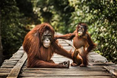 Orangutan Portrait.jpg