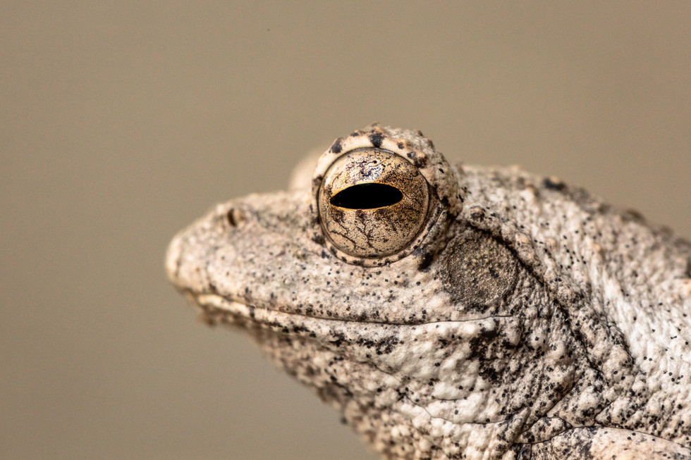 Tree Frog South Africa