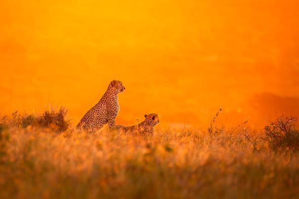 Cheetah Brothers.jpg