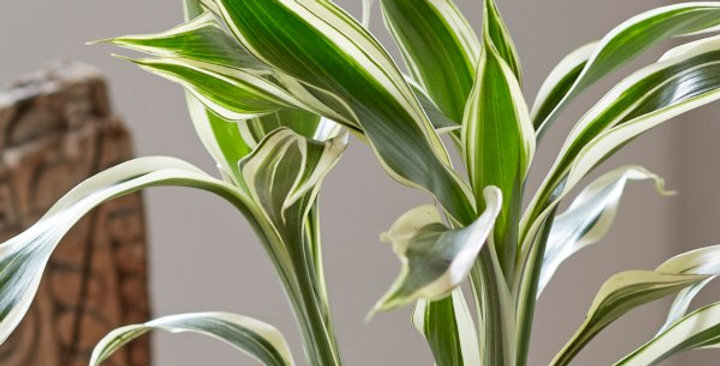 planta dracena interior biotienda plantas