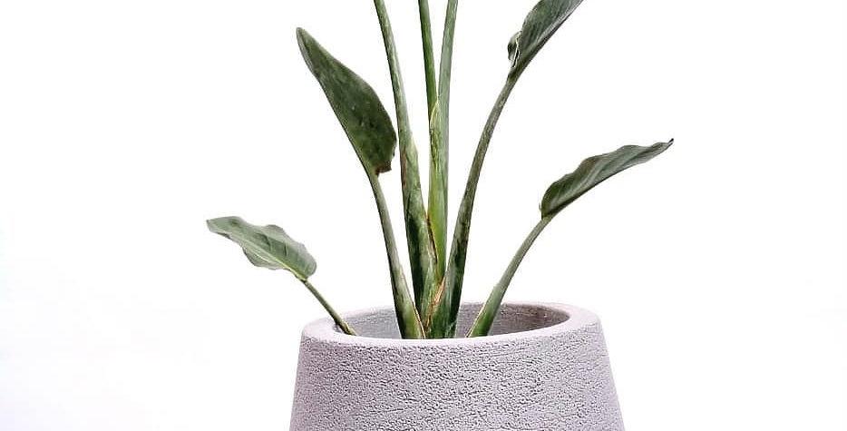 strelitzia planta tropical