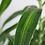 plantas de interior dracena