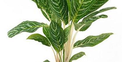 Aglonema Planta interior resistente a la poca luz