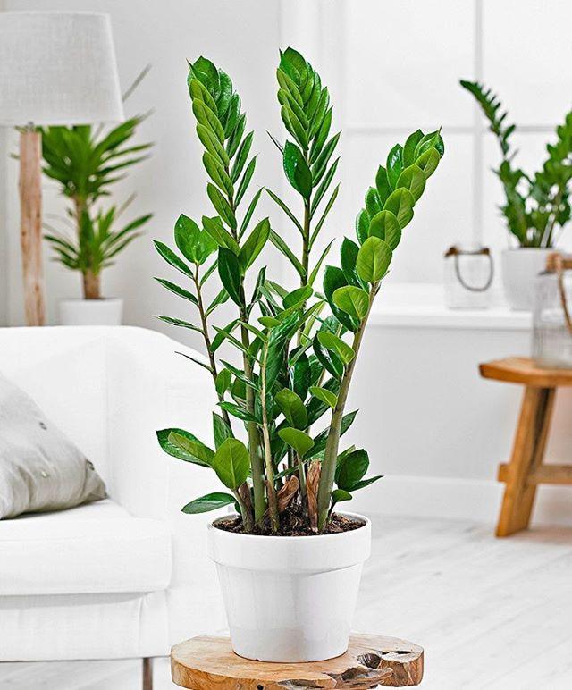zamioculca planta resistente poca luz