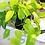 cordatum lemon planta colgante