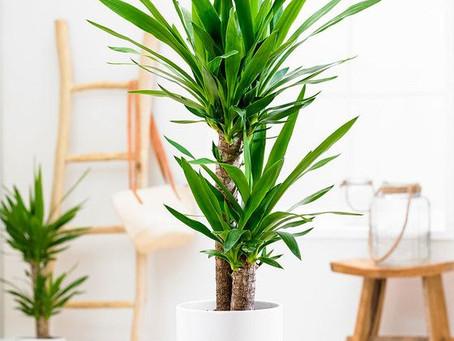 La planta de interior cultivo y cuidados