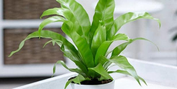 planta asplenium