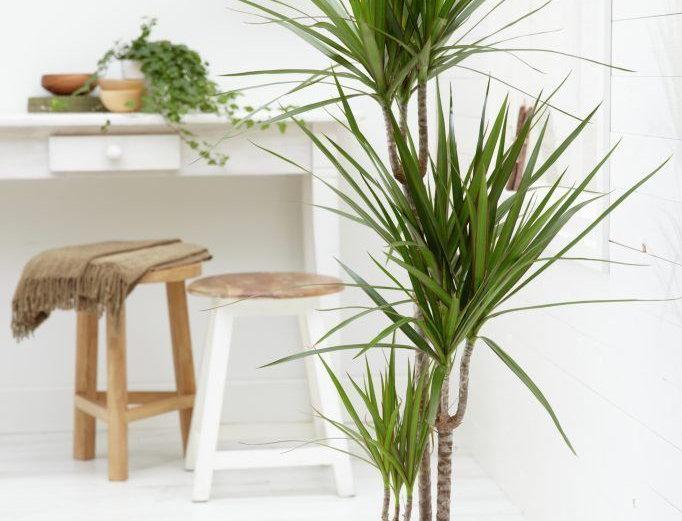 dracena marginata ramificada envio de plantas de interior