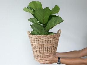 Ficus pandurata: lo que hay que saber sobre la planta de interior de moda