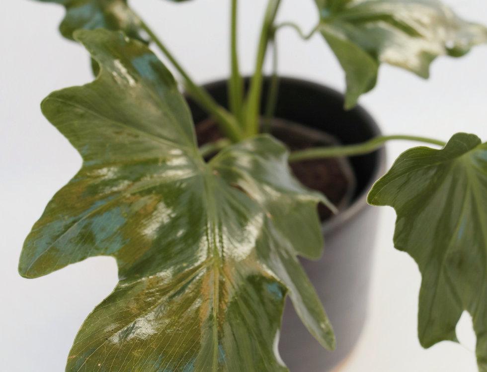 filodendro plant