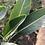 hoja de strelitzia reginae