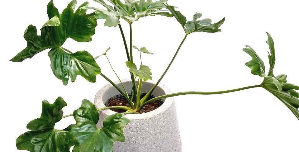 Filodendro en maceta planta de interior