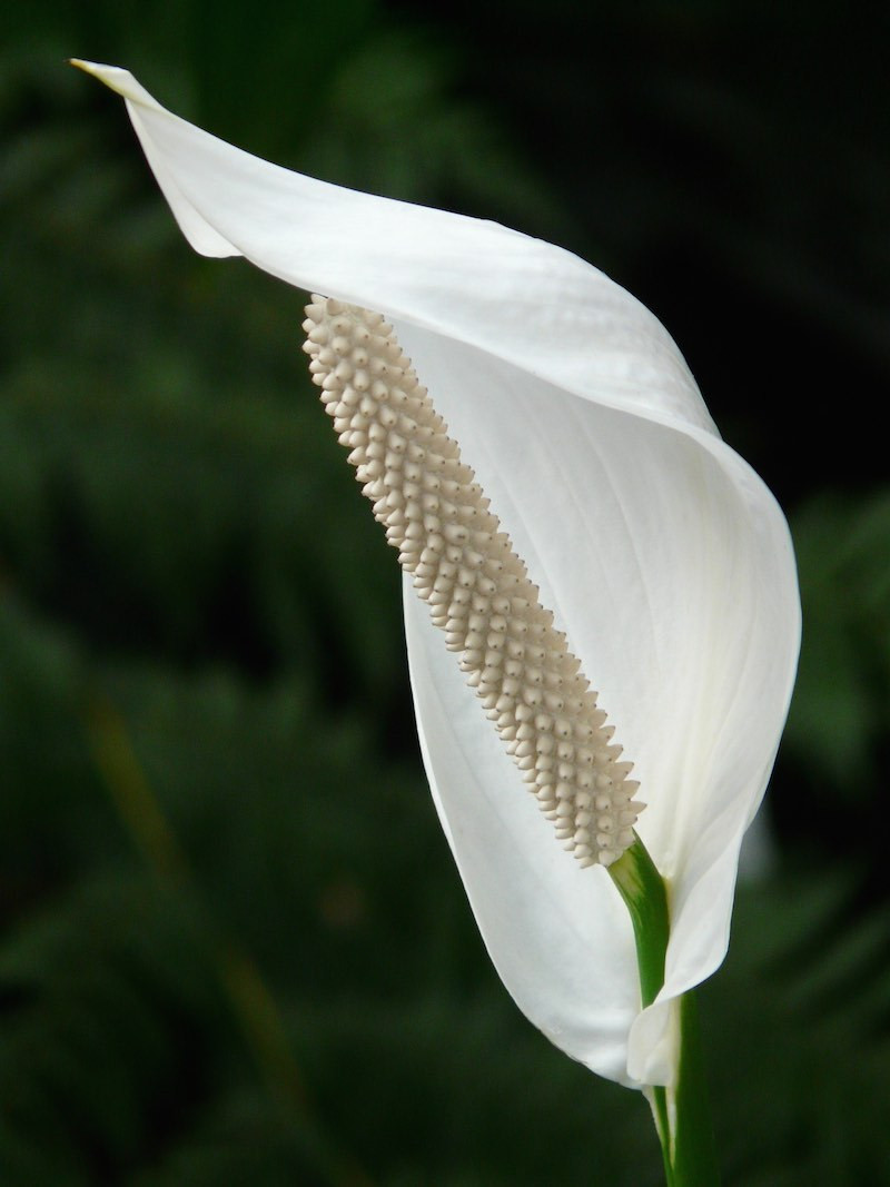 planta cala