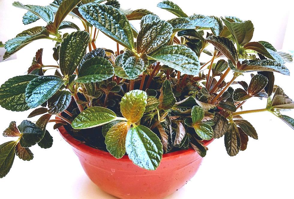 planta peperomia